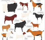 Breeds of goats a ta aglance