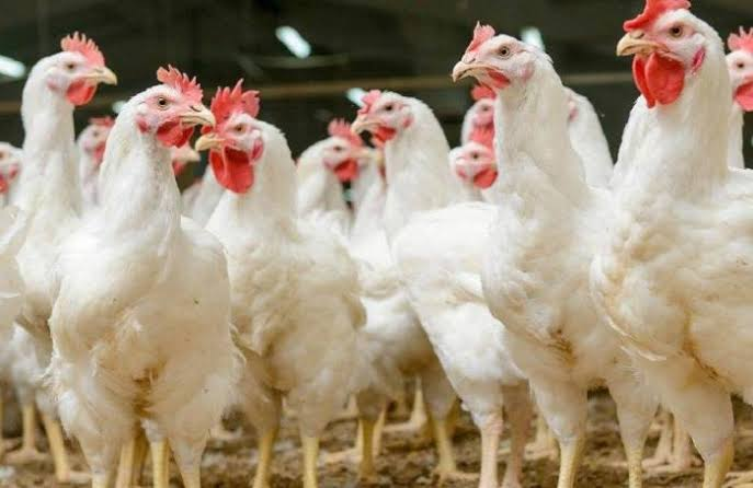 Diseases of poultry at a glance
