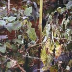 Bacterial wilt of brinjal and not infected plant