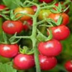Tomato seed production