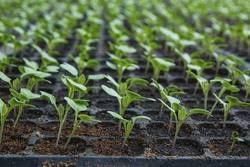 What care should be taken in vegetable nursery?