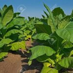 Tobacco cultivation