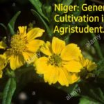 Niger cultivation