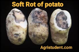 Soft Rot of Potato