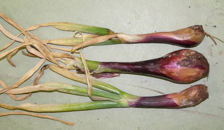 Basal rot of onion